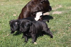 eastbull_staffordshire_bull_terrier_c6_1
