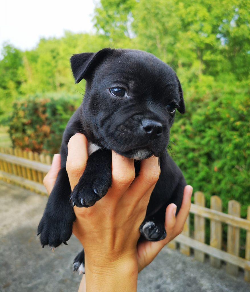 Eastbull_Puppies_Staffordshire_Bull_Terrier